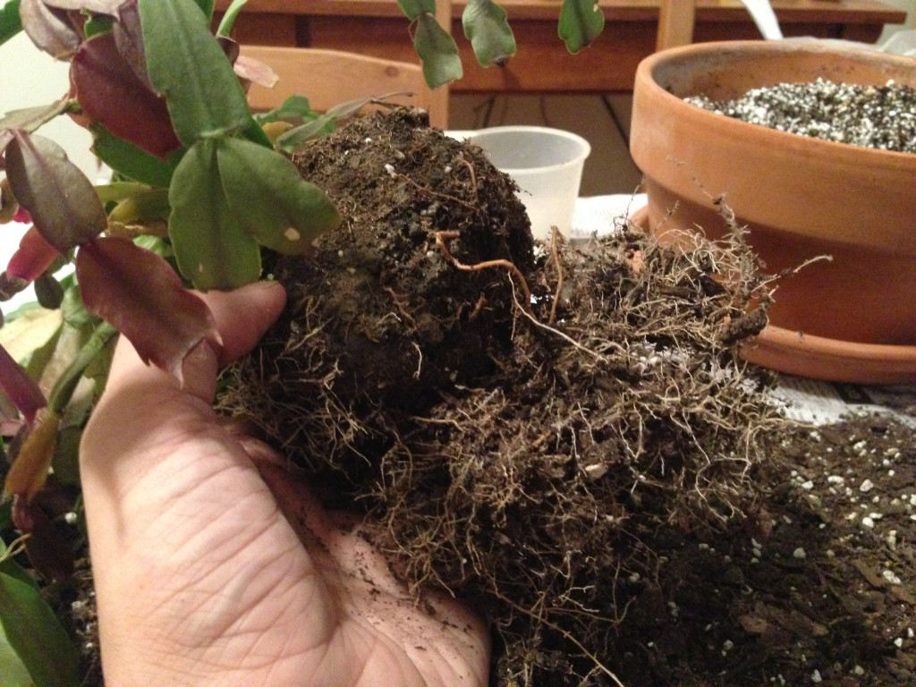 The cemented central root ball, with a few roots that managed to break free over the years.