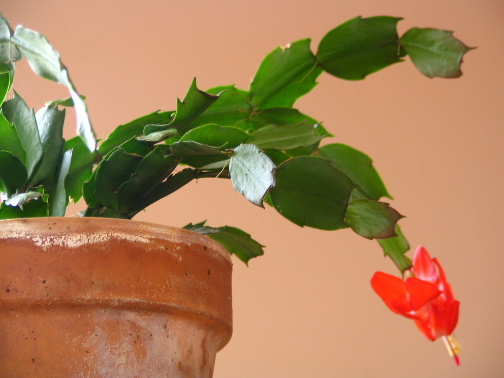 digipix (2006) > My Pictures > DIGIPIX > 2005-11-06 christmas cactus > IMG_1855.JPG
